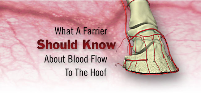 What A Farrier Should Know About Blood Flow To The Hoof