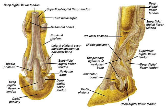 navicular-in-horses - all the pretty horses, Human Body