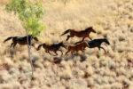 Brumby-Plains-Horses-1.jpg