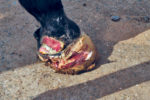 cover-Winston--Equilox-foot-after-partial-removal-of-collateral-cartilage.jpg