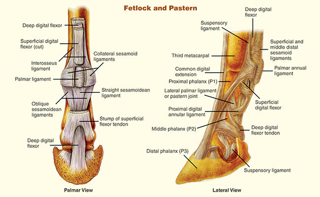 Passing The Club Foot Exam   American Farriers Journal