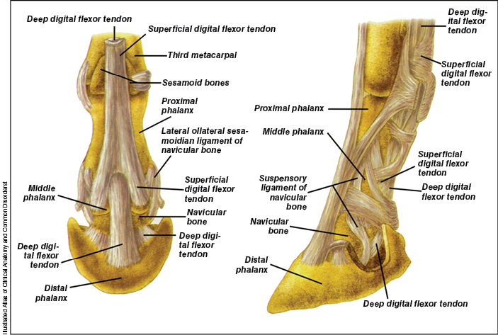 Diagnosing Issues With The Navicular Apparatus 2016 06 22