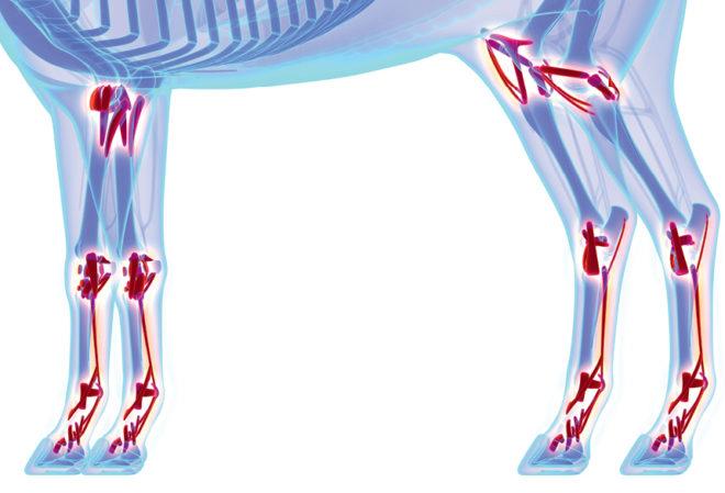 Why Equine Bones Break And Tendons Rupture