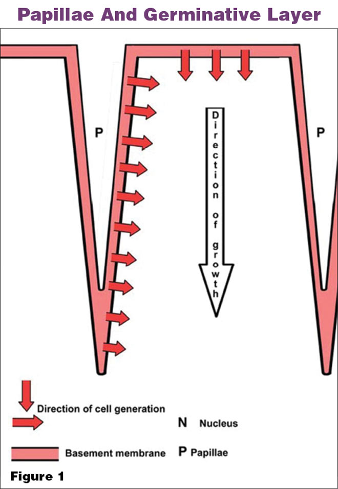 What Do Horn Tubules Do American Farriers Journal