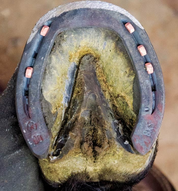 Do Copper Coated Nails Benefit Hoof Wall American