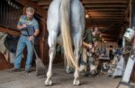 farriers Dave Werkiser (left) and Jason Hillman (right) work together to shoe a horse.