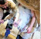 apprentice training at farrier school hot fitting horseshoe
