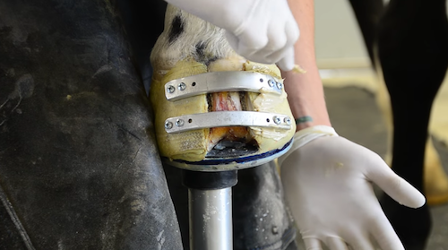 Farrier Quick Takes (Travis Burns): Follow-Up On A Keratoma Case