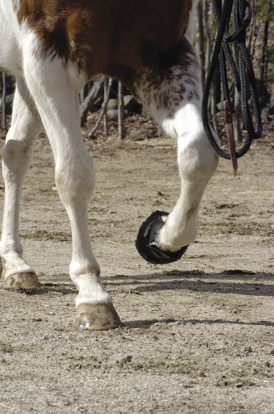 An improperly fitted boot can sometimes lead to a lost or damaged boot when clients are out riding on the trail. Any problems that occur due to the boot rub- bing on part of the foot or hoof are normally due to improper fitting of the boot.
